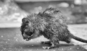 rat-egout