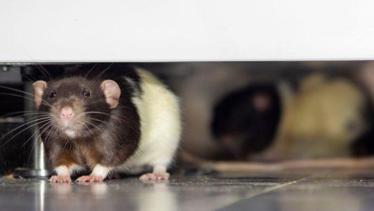 Les Rats à Paris et les Moyens de Lutte contre leurs Invasions